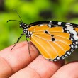 The Plain Tiger (Danaus chrysippus chrysippus) butterfly — Stock Photo