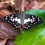 Постер, плакат: Lime butterfly Papilio demoleus malayanus