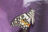 Lime butterfly (Papilio demoleus malayanus) — Foto de Stock