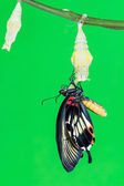 Great Mormon (Papilio memnon agenor) butterfly — Foto Stock
