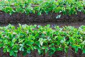 Strawberry plantation — Stock Photo
