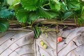 Erdbeere Frucht — Stockfoto