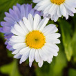 White daisy (Shasta daisy) — Stock Photo