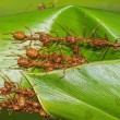Red ants team work — Stock Photo #40265597