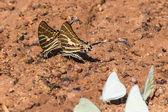Farfalla swordtail catena — Foto Stock