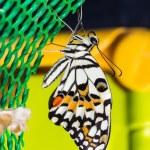 Постер, плакат: Lime butterfly