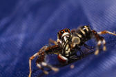 Jumping spider — Zdjęcie stockowe