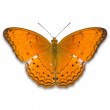 Common Yeoman butterfly — Stock Photo