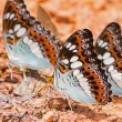 Commander butterflies — Stock Photo #41638075