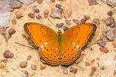 Common Yeoman butterfly — Stok fotoğraf