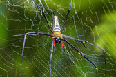 Giant wood spider — Stock Photo