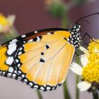 The Plain Tiger butterfly — Stock Photo #41945089