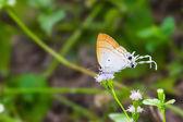 蓬松的乳头蝴蝶 — 图库照片