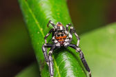 Jumping spider — Stock Photo
