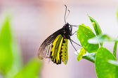 Male golden birdwing butterfly — Stock Photo