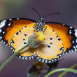 The Plain Tiger butterfly — Stock Photo #42576553