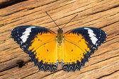 Male leopard lacewing butterfly — 图库照片
