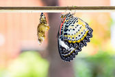 Female leopard lacewing butterfly — Stock Photo
