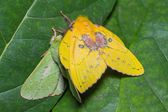 Moth mating — Stock Photo