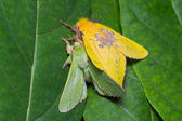 Roseapple caterpillar moth mating — Foto Stock