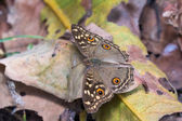 Citron pansy motýl — Stock fotografie