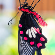 Common rose butterfly — Stock Photo