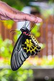Gouden vogelvleugelvlinder vlinder — Stockfoto