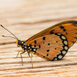 Tawny coster butterfly — Stock Photo