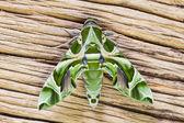 Oleandro falcão-traça — Fotografia Stock