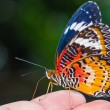 Male leopard lacewing butterfly — Stock Photo #44924697