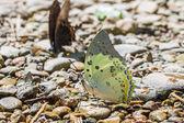 Jewelled Nawab butterfly — Stock Photo