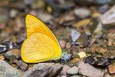 Orange Albatross butterfly — Stock Photo