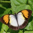 Yellow orange tip butterfly — Stock Photo #46173535