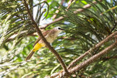 Yellow-vented Bulbul bird — Stock Photo