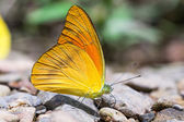 Orange Albatross butterfly — Stock Photo