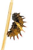 Mature golden birdwing butterfly caterpillar — Stock Photo