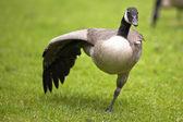 Canada goose birds — Stock Photo