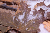 Leaves lying on snow — Stock Photo