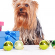 Yorkshire terrier on christmas — Stock Photo