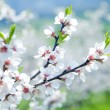 Cherry tree in blossom - Stock Photo
