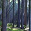 Rays of light in forest — Stock Photo