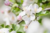 Manzano en flor — Foto de Stock