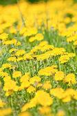 Field of dandelio — Stock Photo