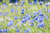 Cornflowers on the Meadow — Stock Photo