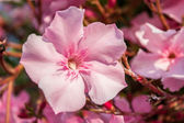 Oleander pink flowers — Stock Photo