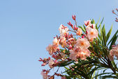 Oleander pink flower — Stock Photo