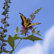 Beautiful Yellow Swallowtail Butterfly - Stock Photo
