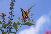 Beautiful Yellow Swallowtail Butterfly — Stock Photo