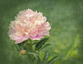 Elegant Peony Backgroound — Stock Photo