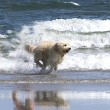 Dog running on beach - Stock Photo